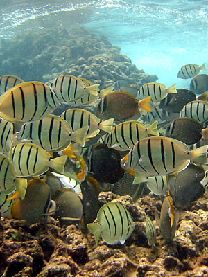 Convict Tangs, and White spotted butterfly fish feeding on the reef