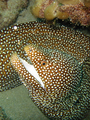 Whitemouth moray eel. Whitemouth morays are among the most commonly seen eels in Hawaii.