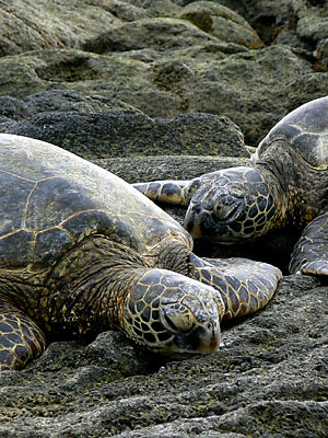 Two green sea turtles or Honu in Hawaiian beach themself to rest. Kona, Big Island.