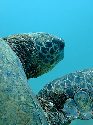 Giant Green Sea Turtle in Kauai, Hawaii.